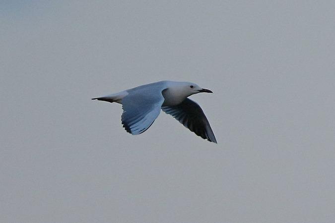 Slender-billed Gull  - Stanisław Turowski