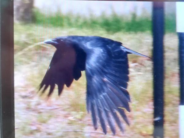 Carrion Crow  - Adrian Ochmann