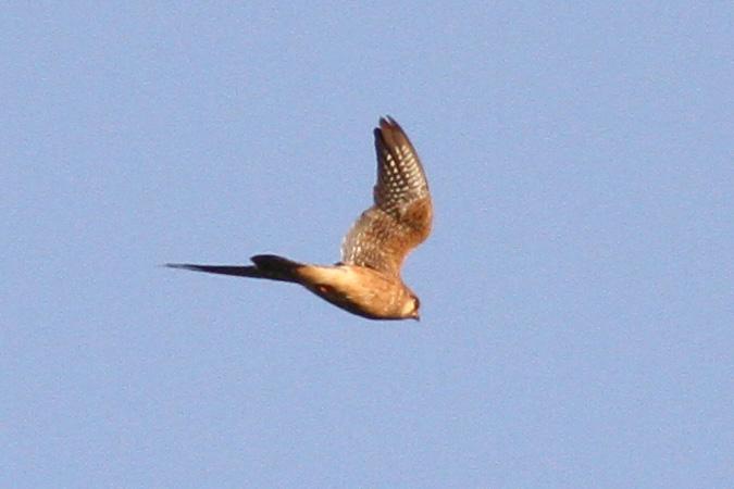 Red-footed Falcon  - Michał Kucharski