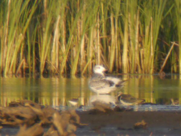 Great Black-headed Gull  - Łukasz Krajewski