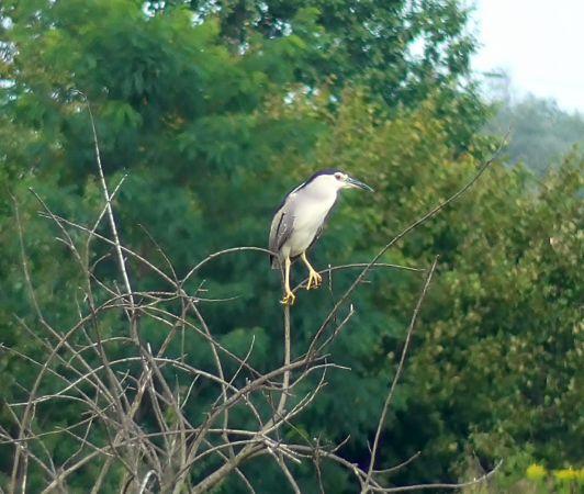 Black-crowned Night Heron  - Piotr Gajewski