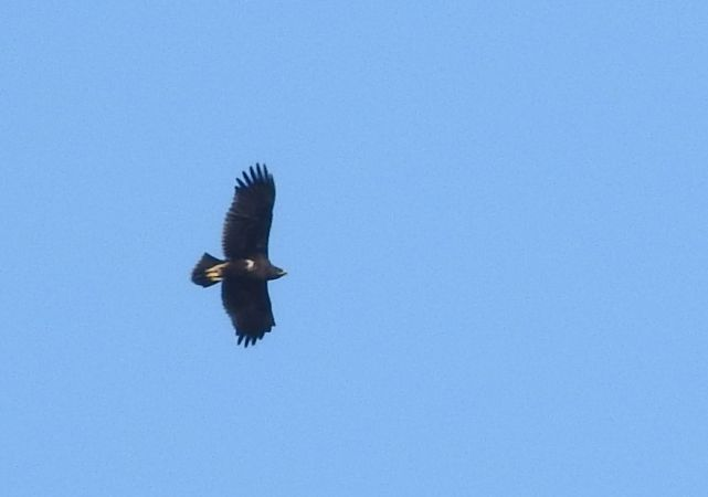 Greater Spotted Eagle  - Agnieszka Henel