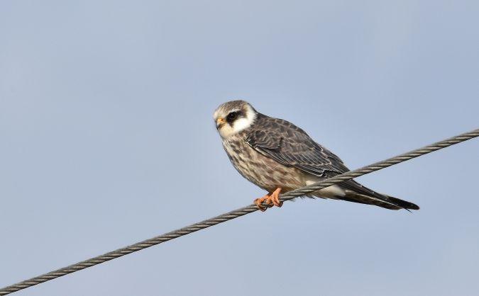 Red-footed Falcon  - Artur Błąd