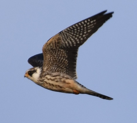 Red-footed Falcon  - Graversen Andreas