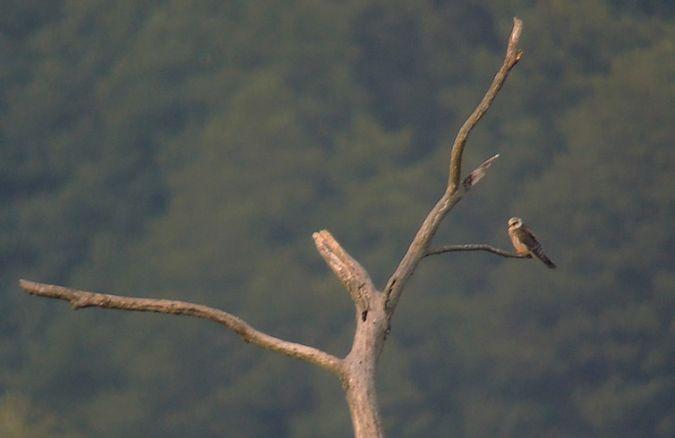 Red-footed Falcon  - Grzegorz Grygoruk