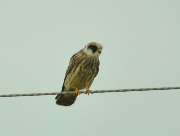 Red-footed Falcon  - Łukasz Krajewski