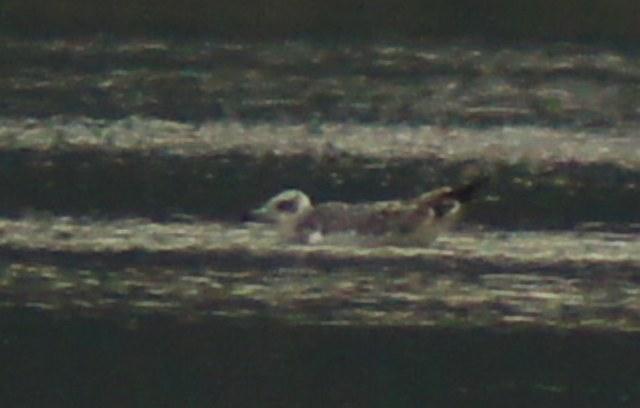 Great Black-headed Gull  - Ryszard Krakowczyk
