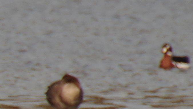 Red-breasted Goose  - Bogdan Podmokły