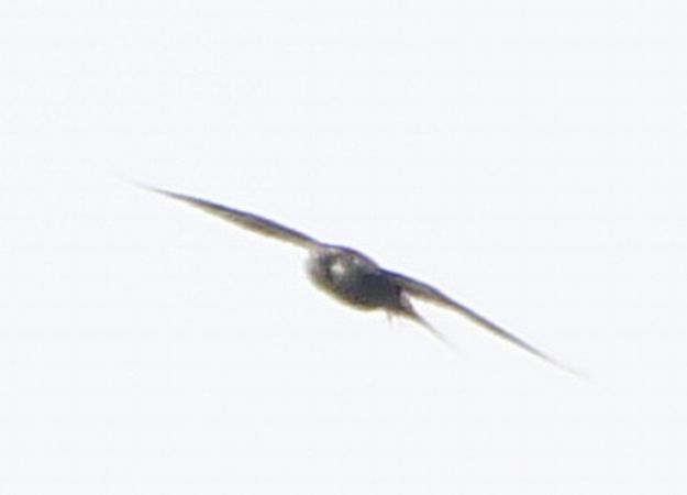 Peregrine Falcon  - Paweł Miśko