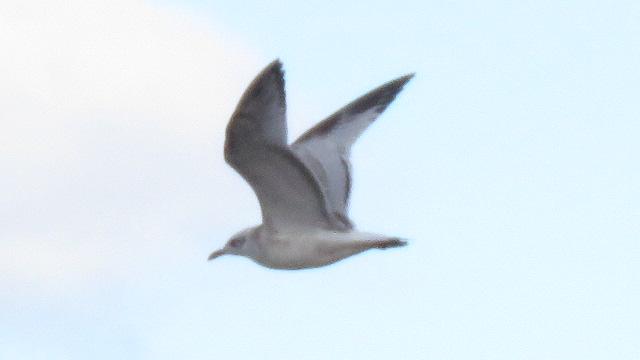 Mediterranean Gull  - Ryszard Rudzionek