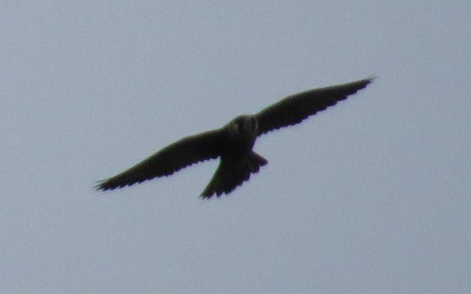 Peregrine Falcon  - Bogdan Rudzionek