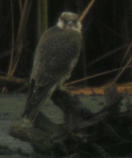 Peregrine Falcon (F.p.calidus)  - Teresa Mariusz Blank