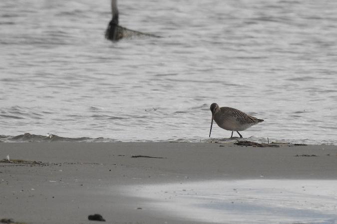 Bar-tailed Godwit  - Wiktor Kroker