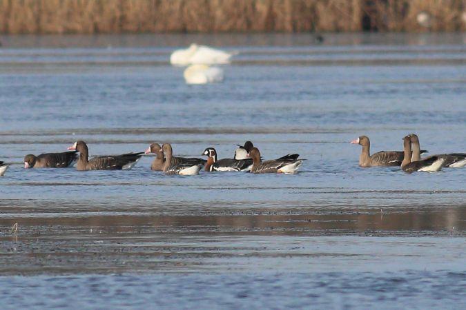 Red-breasted Goose  - Jakub Ławrywianiec