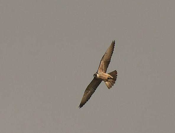 Peregrine Falcon  - Jarosław Mydlak