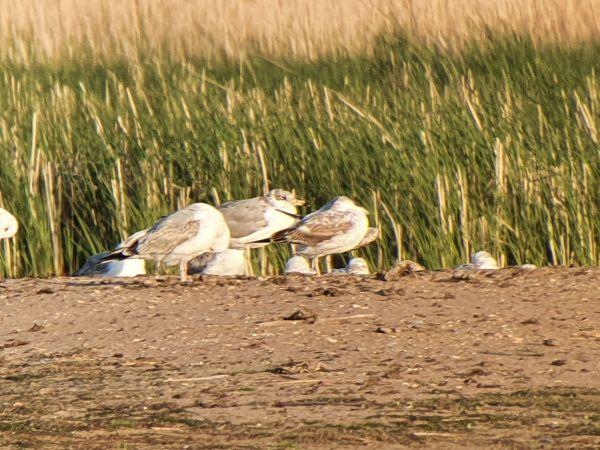 Great Black-headed Gull  - Sławomir Niedźwiecki