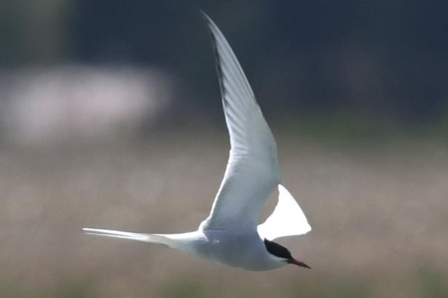 Arctic Tern  - Daniel Stasiowski