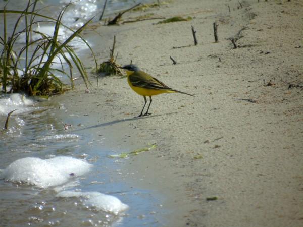 Western Yellow Wagtail (M.f.thunbergi)  - Andrzej Tarasiuk