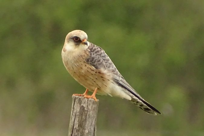 Red-footed Falcon  - Jerzy Sikorski