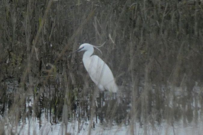 Little Egret  - Łukasz Cudziło