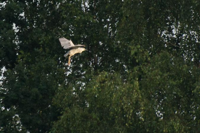 Black-crowned Night Heron  - Katarzyna Matusik
