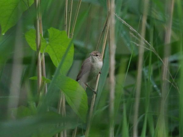 Blyth's Reed Warbler  - Jarosław Stępień