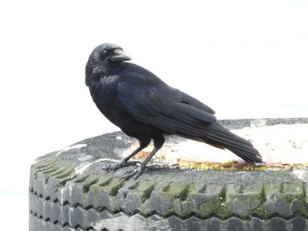 Carrion Crow  - Ryszard Rudzionek