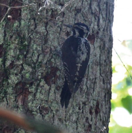 Eurasian Three-toed Woodpecker  - Alina & Andrzej Rogoza