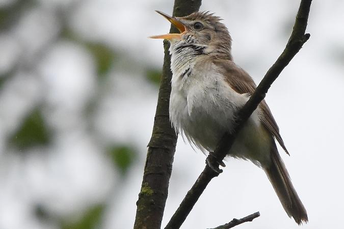 Blyth's Reed Warbler  - Mikołaj Rowicki