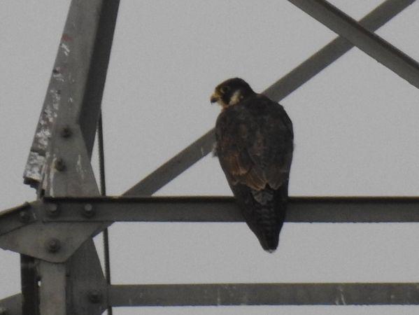 Peregrine Falcon  - Jarosław Słowikowski