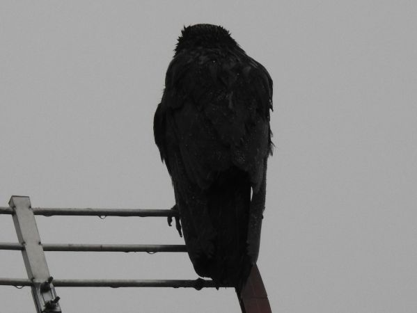 Carrion Crow  - Jarosław Słowikowski