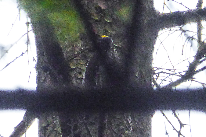 Eurasian Three-toed Woodpecker  - Błachuta Grzegorz