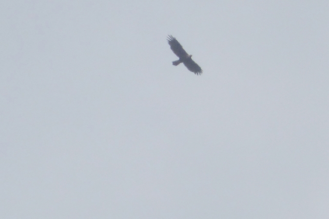 Golden Eagle  - Mirosław Nowicki