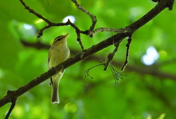 Greenish Warbler  - Hanna Pomorska