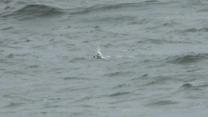 Arctic Tern  - Ryszard Rudzionek