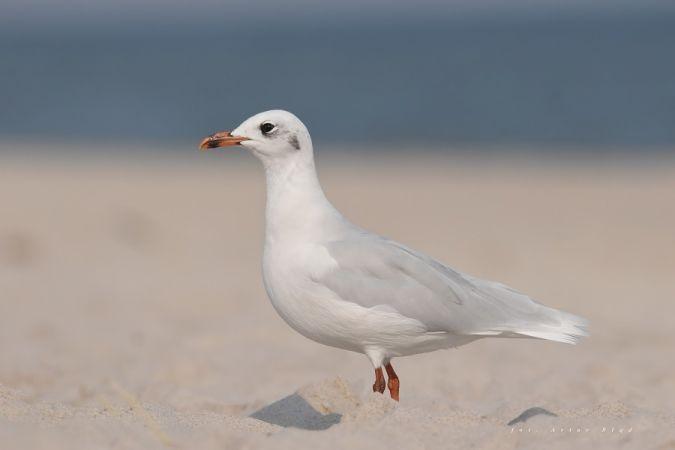 Mediterranean Gull  - Artur Błąd