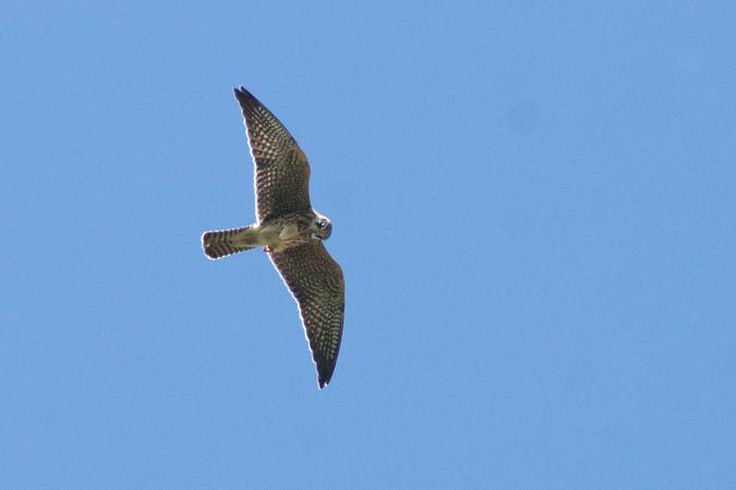 Red-footed Falcon  - Katarzyna Matusik