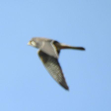 Red-footed Falcon  - Robert Wakulski