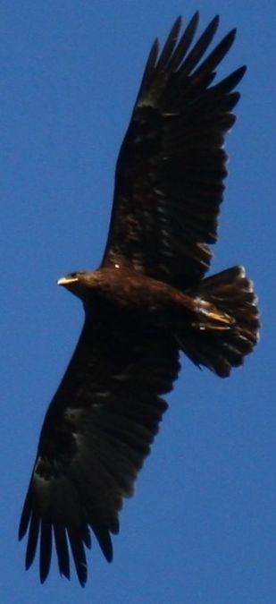 Greater Spotted Eagle  - Alina & Andrzej Rogoza