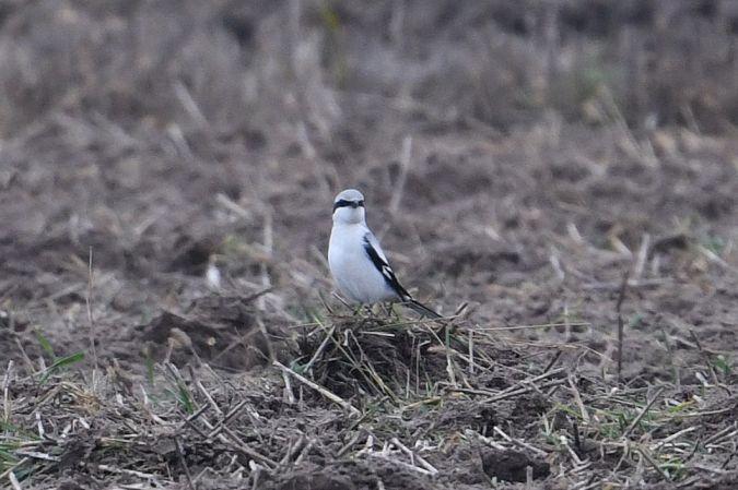 Great Grey Shrike (L.e.homeyeri)  - Marcin Sidelnik