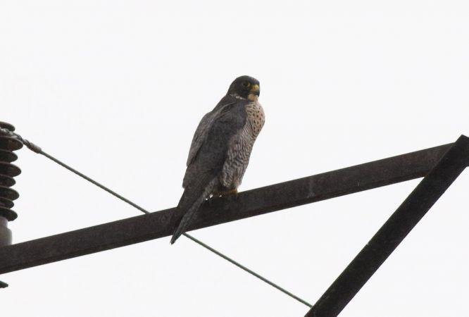 Peregrine Falcon  - Marcin Dec