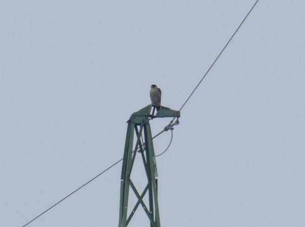 Peregrine Falcon  - Halszka Łożyńska