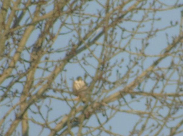 Peregrine Falcon  - Piotrowska Patrycja