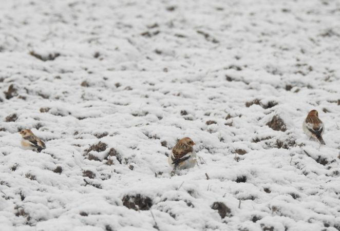 Snow Bunting  - Robert Wakulski