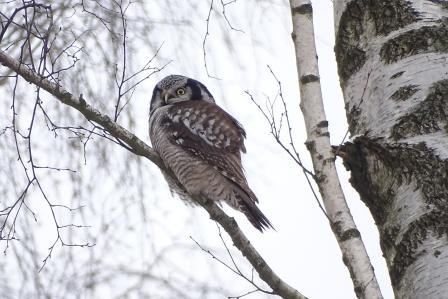 Northern Hawk-Owl  - Ewa Domańska