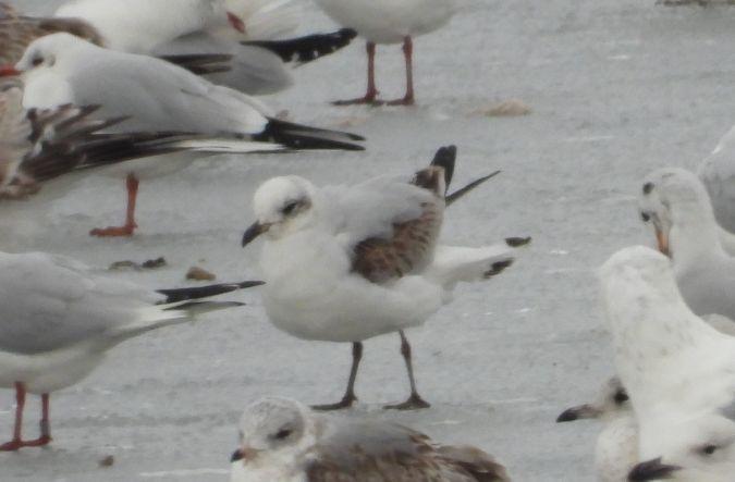 Mediterranean Gull  - Jarosław Słowikowski