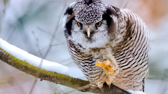 Northern Hawk-Owl  - Łukasz Ifczok