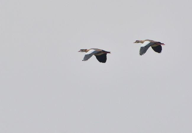 Egyptian Goose  - Andrzej Chwierut