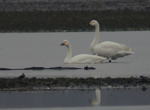 Bewick's Swan  - Grzegorz Grygoruk