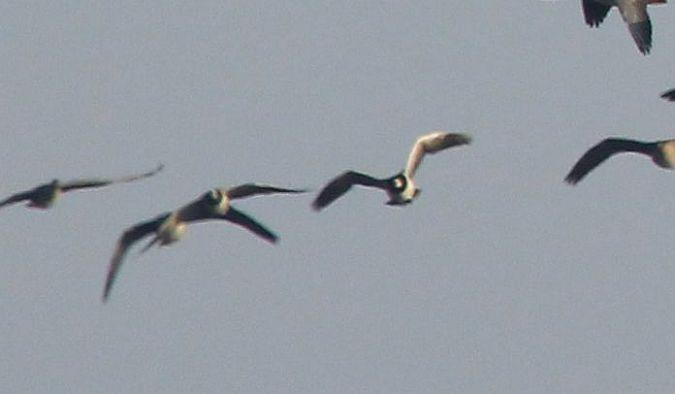 Barnacle Goose  - Grzegorz Neubauer